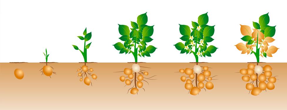 Lombrico garden for Como plantar patatas en casa